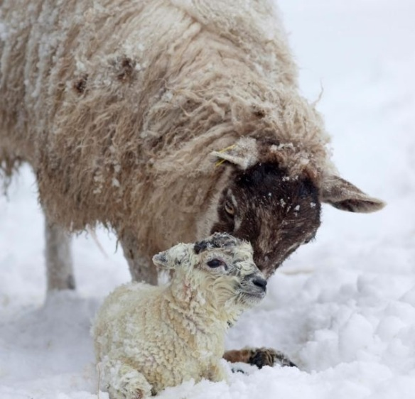 sheep in snow1