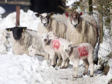 sheep in snow2